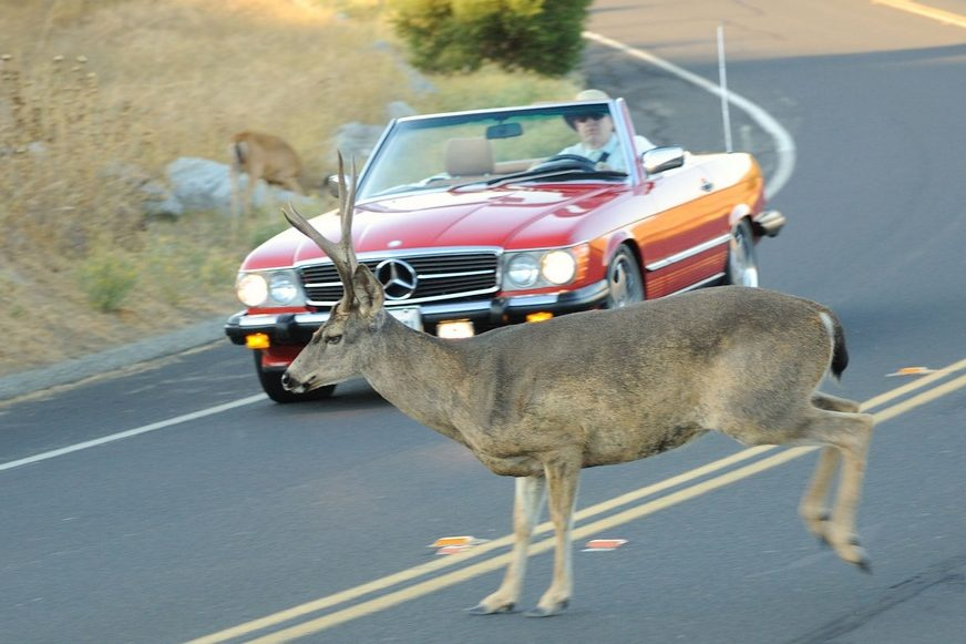 A buck crosses the road in front of a car.