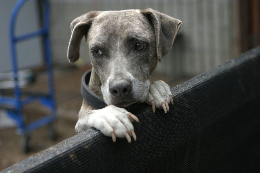 A blue brindle peers over a wall in a shelter.