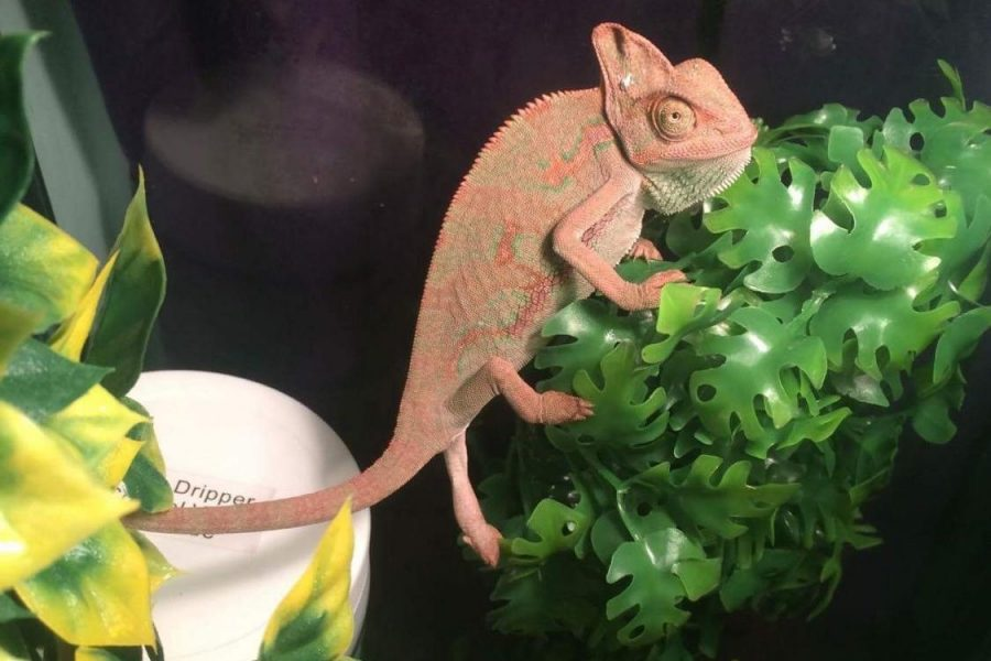Rango, junior Chloe Clark's chameleon, is a dark color, showing he's angry and stressed after just getting a new cage.