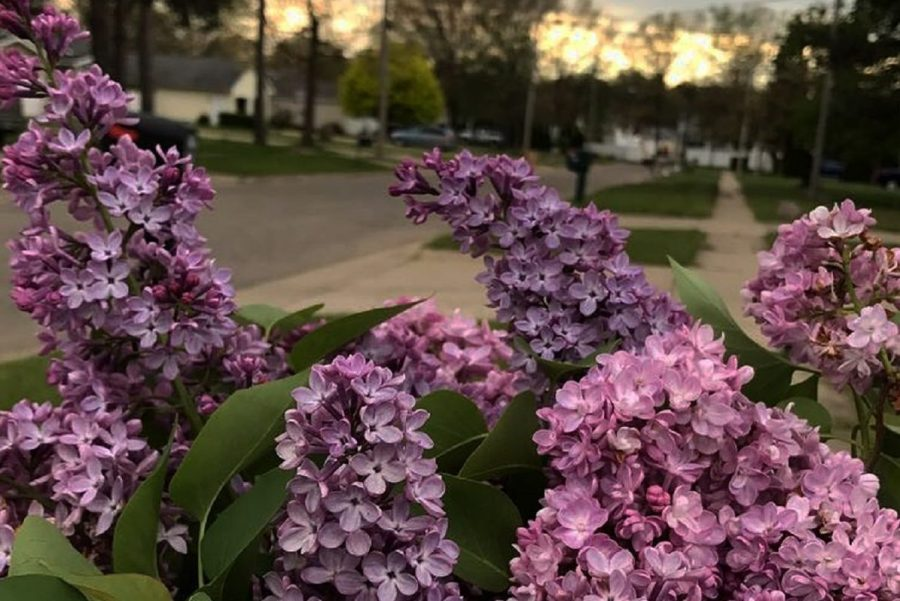 Lilacs can lift a person's spirits after a long winter.