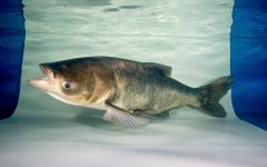 Asian carp must be stopped from invading Great Lakes
