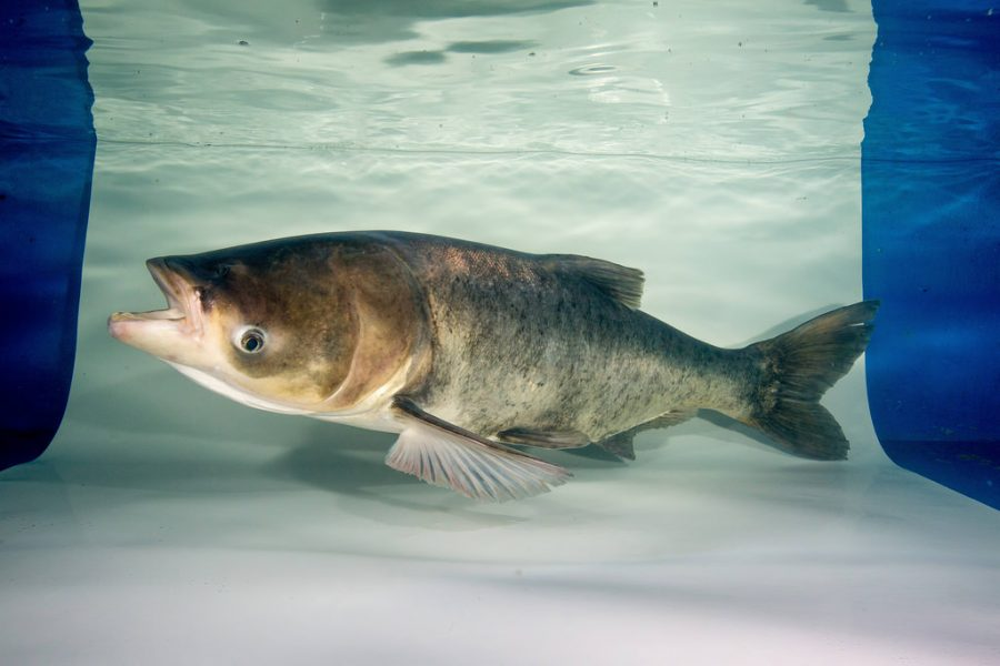 Asian carp are an invasive species that could wreak havoc in the Great Lakes.