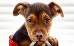 'A Dog's Way Home' charms
