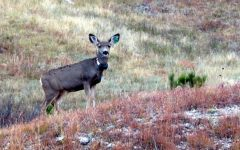 CWD puts deer, possibly hunters in danger