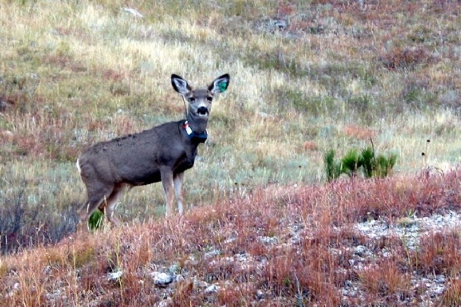 Researchers+are+placing+chronic+wasting+disease+collars+and+tags+on+deer+found+to+have+the+disease+to+help+track+its+spread.