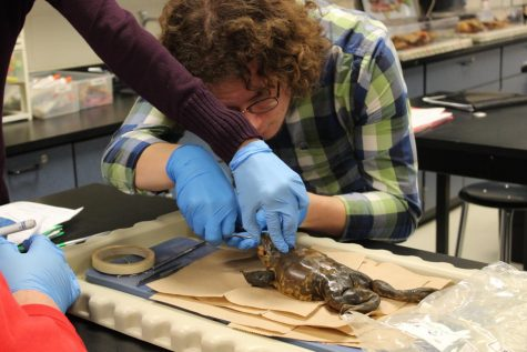 Sophomore Cayden Lewis focuses on cutting open the mouth of a frog.