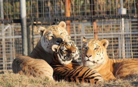 'Tiger King' leaves fans roaring for more